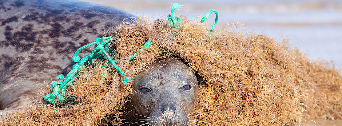 A seal caught in a fishing net. Photo: iStock
